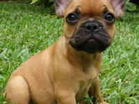 www.poeticfrenchbulldogs.com Zoey is our Red Fawn