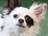 Pogo's story Pogo is a chihuahua/papillion mix who