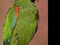 Poicephalus/Senegal - Sam - Medium - Adult - Bird Sam