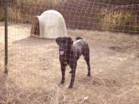 Pointer - 30371 Coon - Large - Adult - Female - Dog