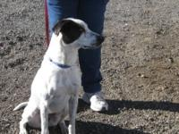 Pointer - Angel - Large - Adult - Female - Dog Hello