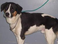 Pointer - Aspen - Medium - Adult - Male - Dog Hello,