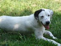 Pointer - Beau - Large - Adult - Male - Dog Beau is a