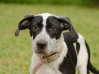 Pointer - Carlton The Pointer Puppy - Large - Young -