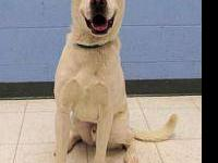Pointer - Chicory - Large - Adult - Male - Dog We would