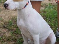 Pointer - Cleo - Large - Young - Female - Dog Oh come