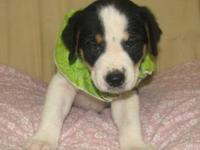 Pointer - Cupcake - Medium - Baby - Female - Dog I'm