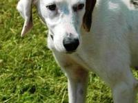 Pointer - Daisey - Medium - Adult - Female - Dog Daisy