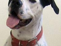 Pointer - Dexter - Large - Adult - Male - Dog Here is
