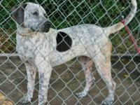 Pointer - Dottie - Medium - Adult - Female - Dog Dottie