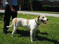Pointer - Jake - Large - Young - Male - Dog Jake is a