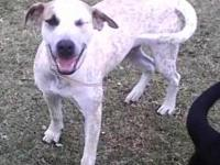 Pointer - Lady - Large - Young - Female - Dog Meet