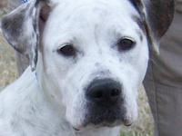 Pointer - Libby Id - 25421 - Large - Young - Female -