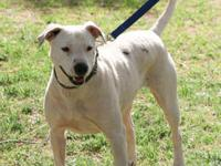 Pointer - Maddy - Large - Adult - Female - Dog MADDY is