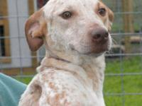 Pointer - Natalie - Medium - Young - Female - Dog Hi I