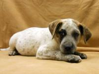Pointer - Patch - Medium - Baby - Female - Dog I was so