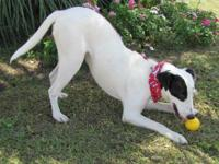 Pointer - Pauley - Large - Young - Male - Dog Meet