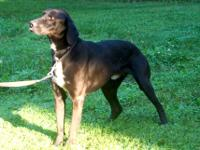 Pointer - Scottie - Large - Adult - Male - Dog Meet