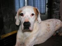 Pointer - Scotty - Large - Adult - Male - Dog Come meet