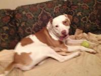 Pointer - Shawnee - Large - Adult - Female - Dog Poor