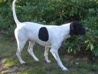 Pointer Stud Dog Available. I am looking to stud out my