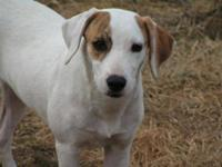 Pointer - Tansy - Large - Young - Female - Dog