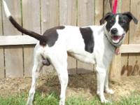 Pointer - Theodore - Medium - Adult - Male - Dog at the