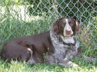 "Pointer - Tilly - Large - Senior - Female - Dog ""I?m an"