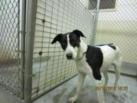 Pointer - Toby - Medium - Young - Male - Dog Toby is a