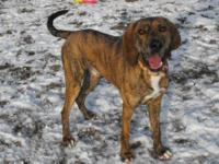 Pointer - Harvey - Large - Adult - Male - Dog My name