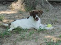 Pointer - Hektor *h Litter - Large - Young - Male -