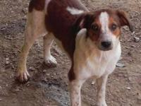 Pointer - Nancy - Medium - Young - Female - Dog Nancy