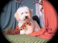 Polar Bear is the most irrestable male Havanese puppy.