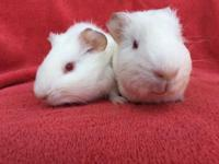 Polar & Lyle are a bonded pair of pink eyed white