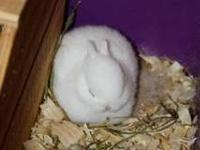 Purebred Polish dwarf bunnies. Friendly, home raised,
