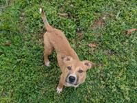 Polly is a beautiful 4 month old Pitbull/Boxer mix