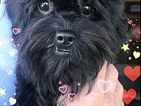 Polly's story Polly is an 8 month old, female Shi-Poo