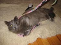 Fluffy Grey boy is +/-11 months old. Was part of an