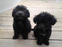 I had two pom a poo puppies for sale. they are 10 weeks