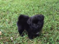 Adorable Male Pom A Poo Puppies (Toy Poodle/Pomeranian