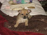 Pomeranian/Chihuahua Male, born June 1, 2012 Was Asking
