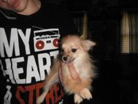 hi, i have one pom-chi female pup left.she was returned