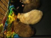 I have 5 beautiful purebred pomeranian young puppies