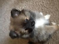 2 Pom puppies male and female sables. Will be