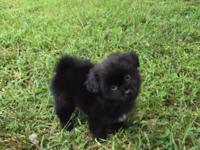 Adorable Male Pom/Shih Puppies:) 8 weeks Must see, all