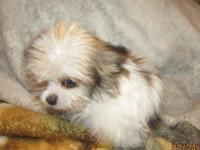 Male red and white tiny Pom/Shih Tzu puppy. Silly and