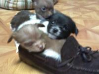 I have 5 cute pom / yorkie new puppies. There are two
