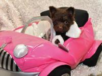 I have a litter of pomapoo puppies, 1 chocolate female