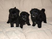 I have 3 developer breed pom-a-poo young puppies