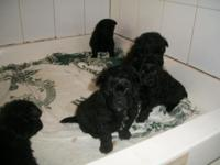 I have pure black pomapoo's. The mommy is pure-blooded